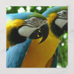 Blue and Gold Macaws Invitations