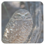 Burrowing Owl Square Paper Coaster