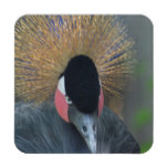 Curious African Crowned Crane Drink Coaster