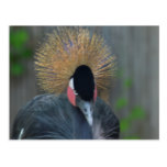 Curious African Crowned Crane Postcard