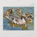 Duck Family Postcard
