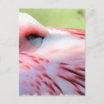 Flamingo Feathers Postcards