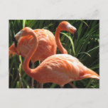 Flock of Flamingos Postcard