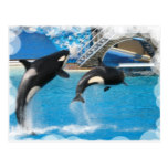 Orca Whales Postcard