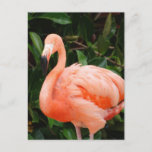 Pink Flamingo  Postcard