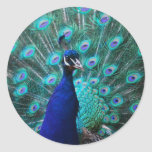 Pretty Peacock Sticker