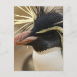 Rockhopper Penguin  Postcard