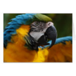 Ruffled Blue and Gold Macaw