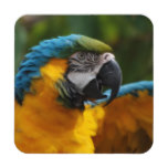 Ruffled Blue and Gold Macaw Coaster