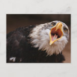 Screaming Eagle Postcard