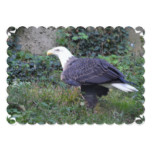 Standing American Bald Eagle Card