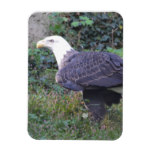 Standing American Bald Eagle Magnet
