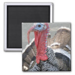 Wild Turkey Picture Magnet
