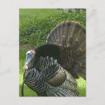 Wild Turkey Postcard